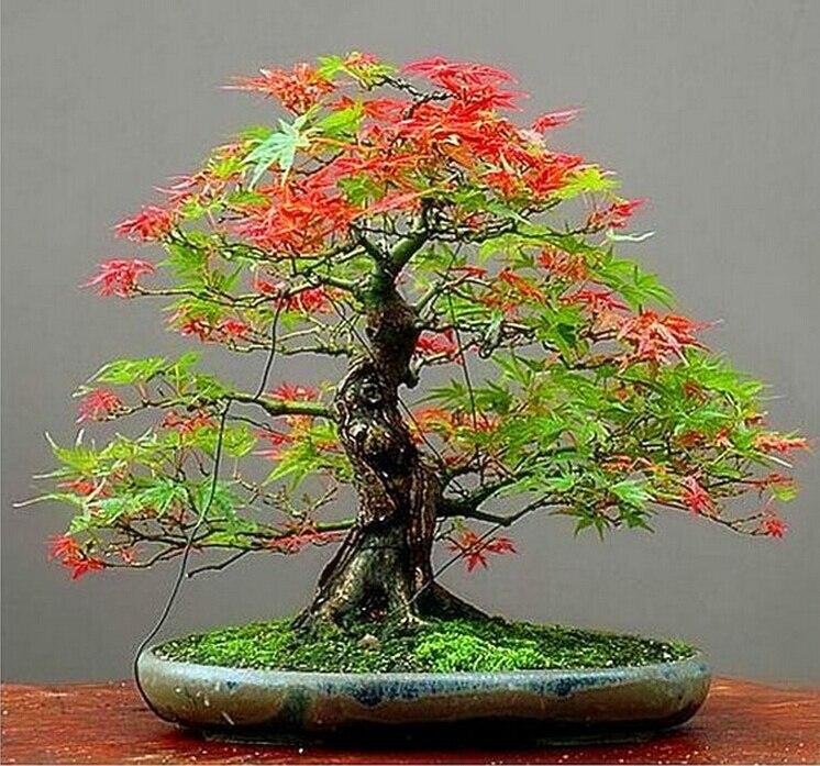 Frete grátis 30 sementes / pack Maple penas sementes de Bonsai a taxa de brotamento de 90% sementes de árvore