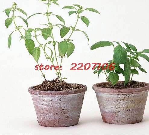 Mint Green Vegetable Potted Peppermint Aromatic Plant About 200 Seeds Soil planted Bubble bag Little Garden bonsai home *