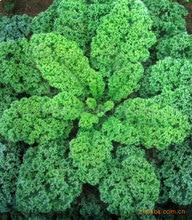 Hot kale seeds vegetable 100seed