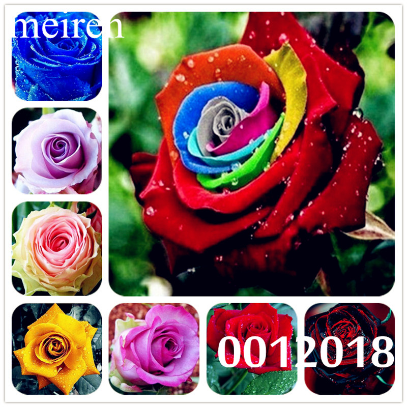 200 ks Vzácné Holland Duhové růže Bonsai pro domácí zahradu Vzácné 24 Květinové rostliny Duhové barvy Rose Flores, Rose Sazenice