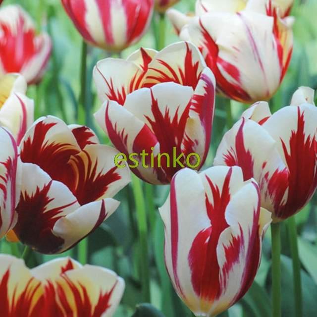 Online shop rare carnival de nice tulip bulbs 5pcs bonsai tulip online shop rare carnival de nice tulip bulbs 5pcs bonsai tulip flower tulipa home garden potted plants perennial flower bulbs aliexpress mobile mightylinksfo