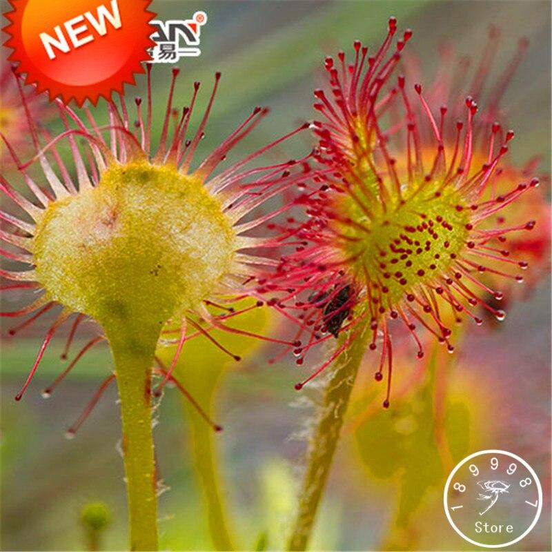 Loss Promotion!Drosera Peltata Bonsai Potted Plant Circular Sundew Carnivorous Plants Garden Flores 100 Pieces / Bag,#7FXBW6