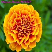 Clearance! 20pcs free shipping African herbal marigold flowers covered earth French potted marigold flower family garden plants(China)