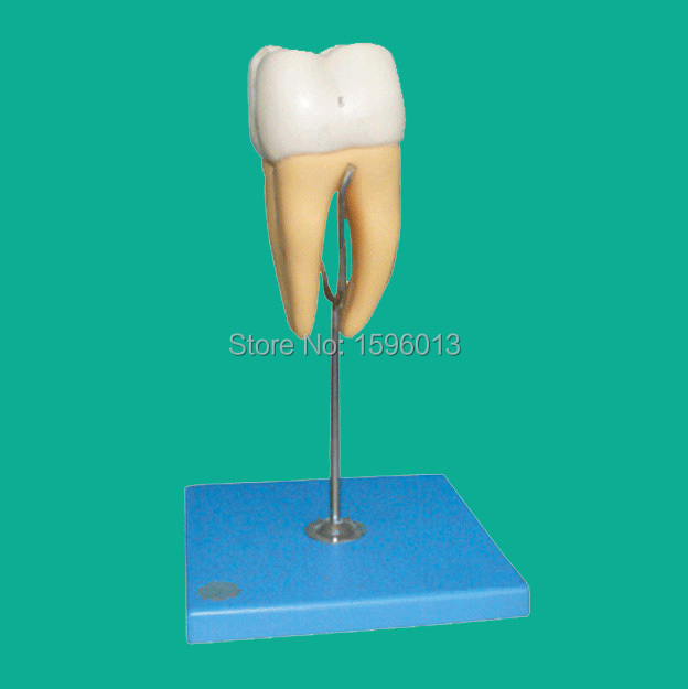 Molar Model, molar anatomical model 14 positions displayed, teeth model molar model with 3 root molar teeth model