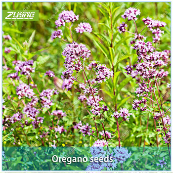 ZLKING 100pcs Oregano Flower Bonsai Plants For Home Garden Plant Stand Super Natural Products Supernatural Product