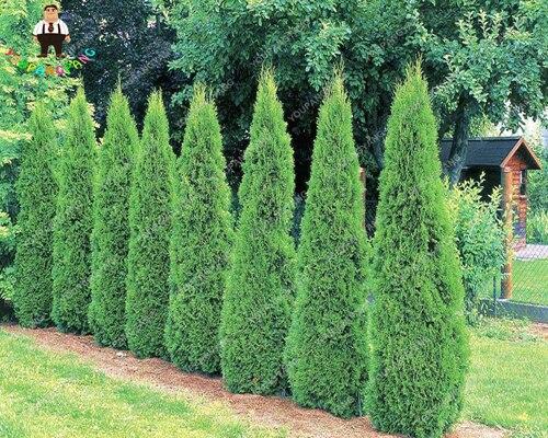 Hot Selling 50pcs Cypress Trees Bonsai Perennial Courtyard Conifer Bonsai Bonsai Natural Growth For DIY Home&Garden Planting