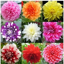 30 seeds/pack Mixed Colors Dahlias Seeds For DIY Home Garden Wholesale free Shipping