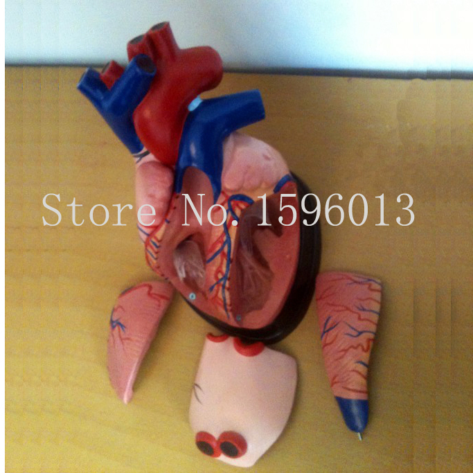 Medical Anatomy Heart Model 5 parts,  Middle Heart Model, 3 times enlarged heart model