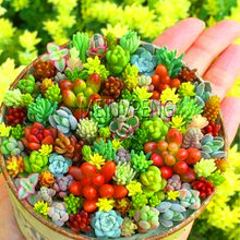 Big Sale!200pcs/bag Semillas De Flores Mix Lithops Plant Rare Succulent Plantas Ass flower Planten Living Stone bonsai mini gar(China)