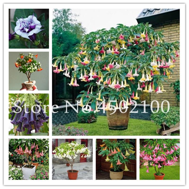 50Pcs Flower Seeds Brugmansia Datura Flores Flower Seeds E Seeds As Mixed Color Garden Seeds 1