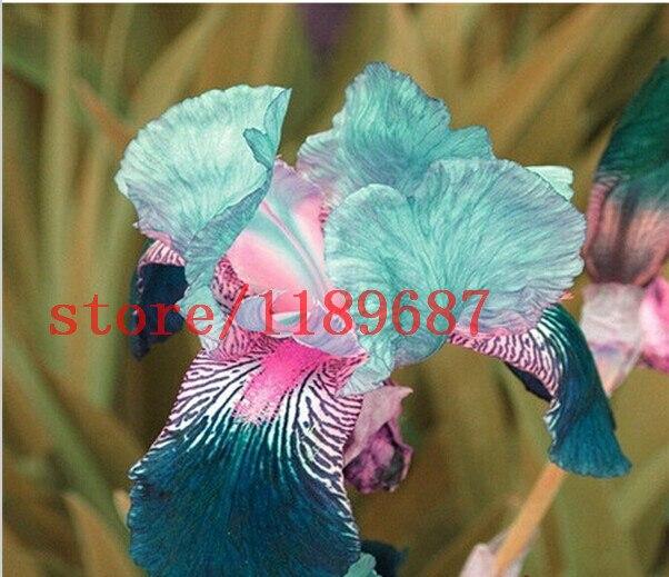 1 Sac 30 Pcs Iris Fleur Populaire Vivaces Jardin Fleur