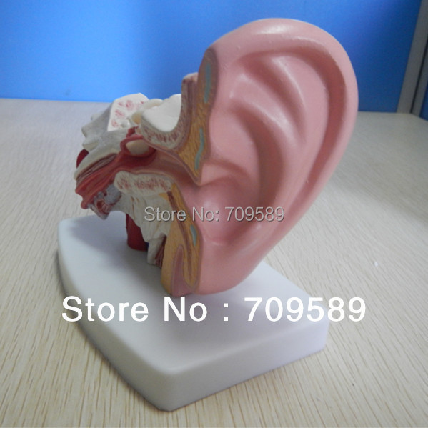 ISO Desktop Ear Model, Human Ear Model iso sound auditory mediation model acoustoelectric control human hearing model