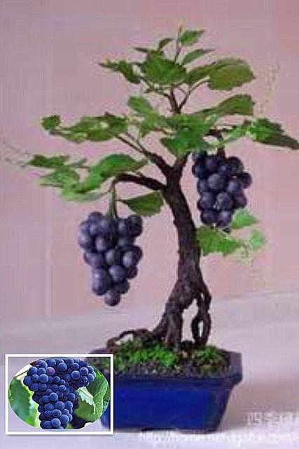 Plantes d\'intérieur Noir Raisin Arbre plante Pousse Fruits Bonsaï ...