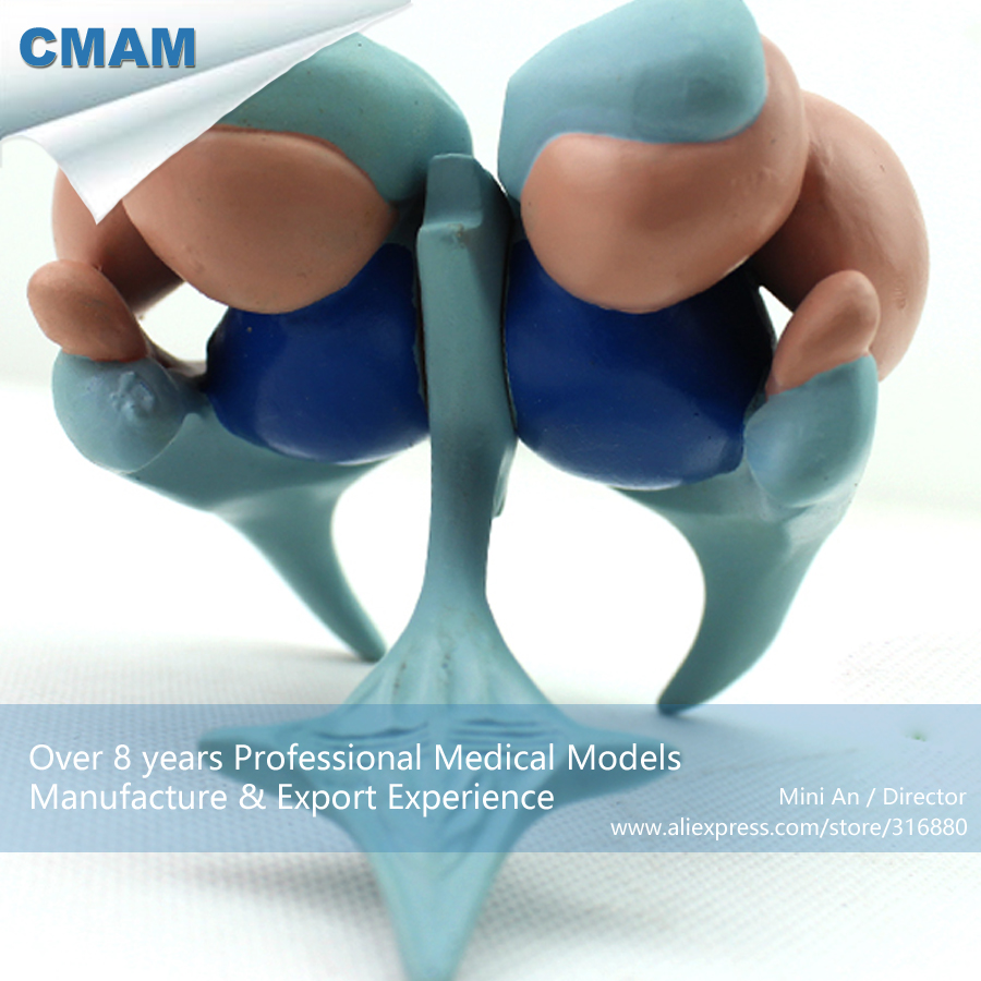 12410 CMAM-BRAIN12 Enlarge Human Brain Basal Nucleus Anatomy Model ,  Medical Science Educational Teaching Anatomical Models 12437 cmam urology10 hanging anatomy male female genitourinary system model medical science educational anatomical models