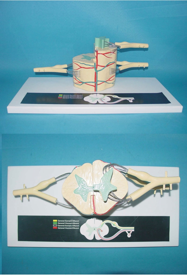 spinal cord and Spinal nerve Branch Zoom model Spinal nerve anatomical model free shipping