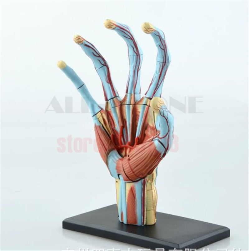 Nett Menschliche Hand Anatomie Fotos - Anatomie Ideen - finotti.info