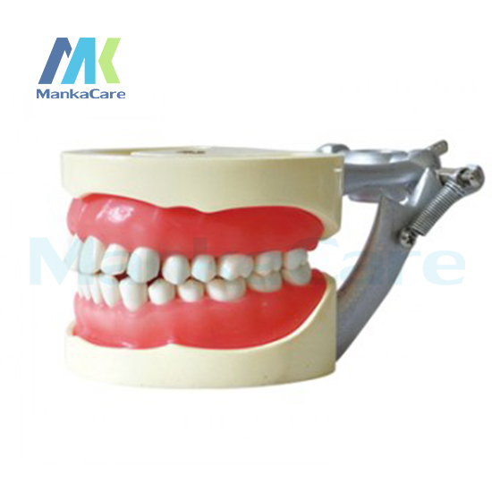 Manka Care - Standard Model/32 pcs Tooth/Soft Gum/Screw fixed/ DP Articulator Oral Model Teeth Tooth Model promotion 24 pcs soft gum standard dental child model teeth fe articulator doctor teeth model a3