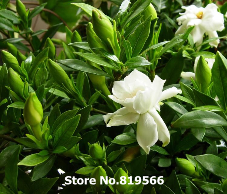 Echte Chinesische Gardenia Jasminoides Baum Samen Bonsai Cape Jasmin