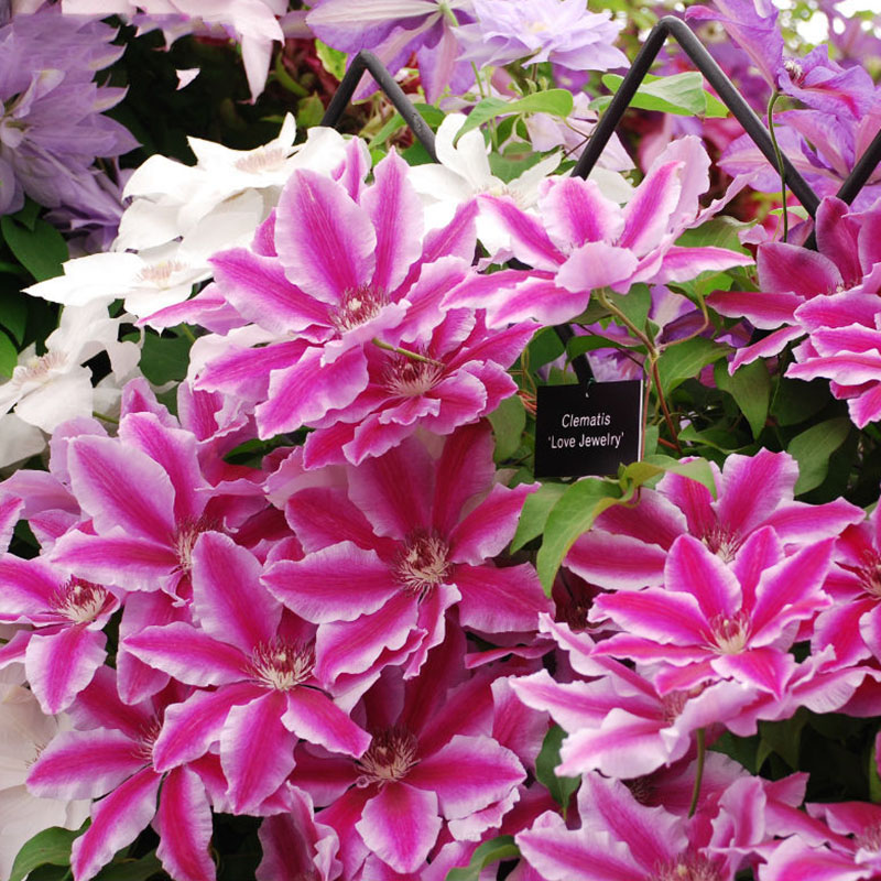 Pink univalve clematis seeds potted clematis climbing flower seeds pink univalve clematis seeds potted clematis climbing flower seeds 200 particles bag in bonsai from home garden on aliexpress alibaba group mightylinksfo