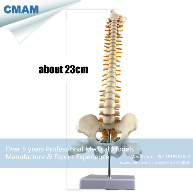 Online Shop Cmam Spine08 Mini Anatomical Human Vertebral Column With