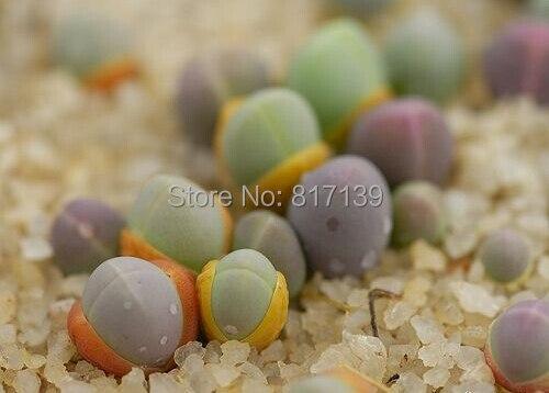 649ce28a3d8c DIY Home Garden Plant 10pcs/lot LIVING STONES Gibbaeum heathii Exotic Rare  Succulent Seeds Free Shipping