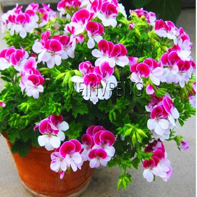 Цветы пеларгония гидропоника легальные курительные смеси винница