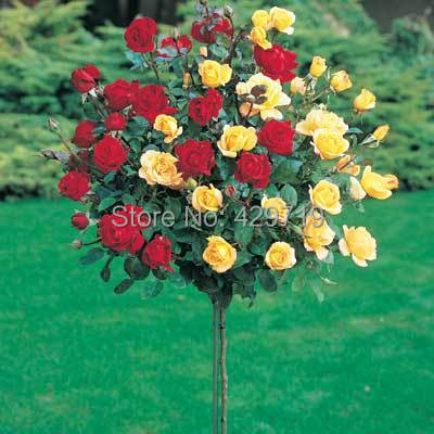 100pcs rare flower Rose tree Seeds, DIY Home Garden Potted , Balcony & Yard Flower Plant