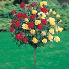 100pcs rare flower Rose tree Seeds, DIY Home Garden Potted ,Balcony & Yard Flower Plant