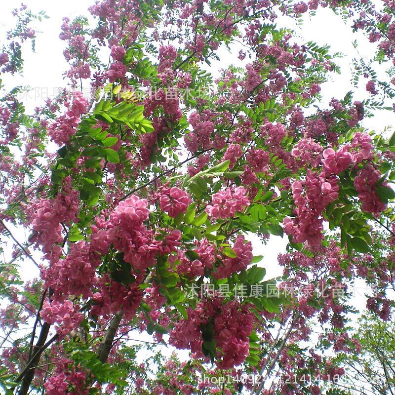Sauterelle bonsaï carthame plante Mao Mao Jiang Nanhuai Robinia Robinia emplacements réels acacia bonsaï 200 g/paquet