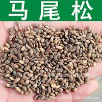 Tree Seed and Pine Seeds freshly collected authentic mountain pine fir pine fir pine seed real shot 200g / Pack
