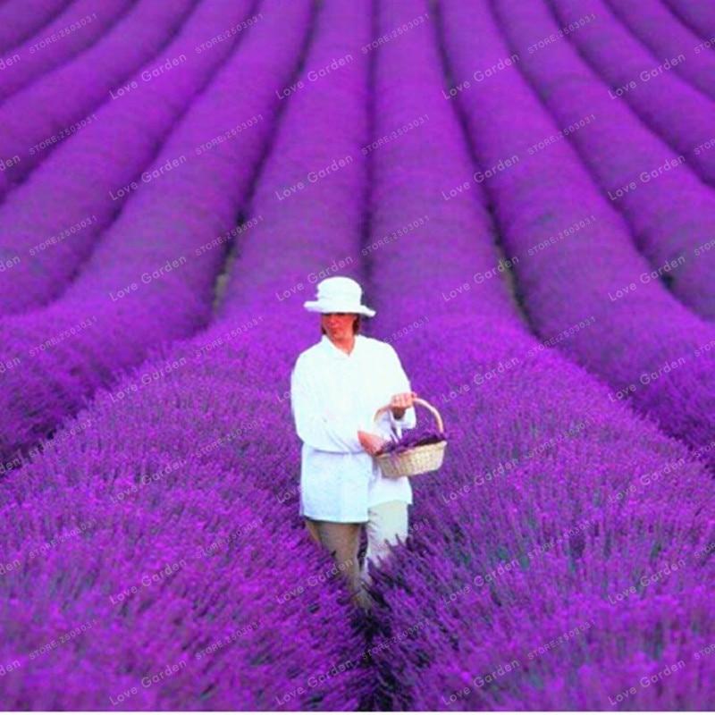 100 шт. французский Прованс лаванда бонсай очень ароматный органический Лаванда Бонсай завод цветок бонсай домашний сад бонсай