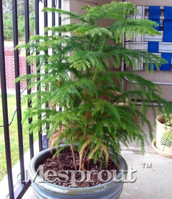 Comprar abeto de bosques de hoja perenne for Arboles jardin hoja perenne