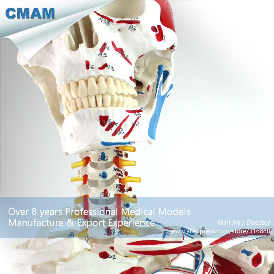 12363 CMAM-SKELETON03 Life Size Professional Medical Skeleton with Muscles and Ligaments, 170cm Skeleton Model цена
