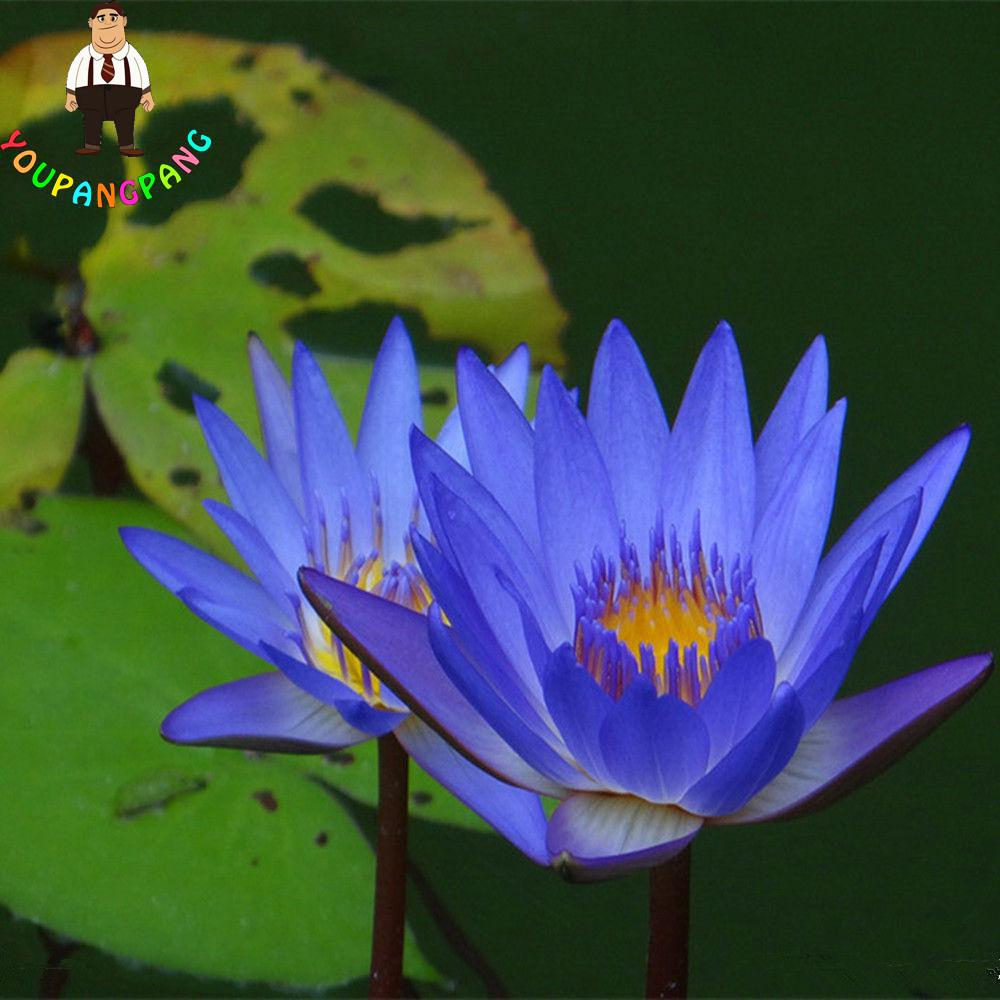 5 Pcsbag True Lotus Flower Bonsai Hydroponic Aquatic Plants Lotus