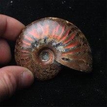 Спиральная аммолит натуральный аммонит окаменелый чистый натуральный ручной работы шт играется на пальмах хороший подарок для коллекции камней 2,6-3,5 см