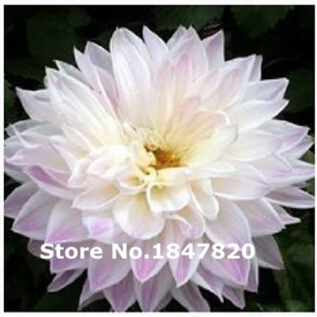 Rare dahlia Seeds, 10 kinds 100 Mix Colors Flower Seeds, High survival Rate for Home and Garden.