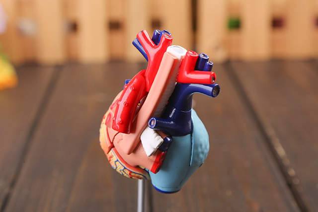 US $24 4 |3d hear model colored heart assembled Human Anatomy dimensional  model-in Medical Science from Office & School Supplies on Aliexpress com |