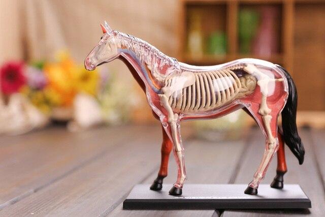 Aliexpress.com : Pferd anatomisches modell pferd skeleton modell 3d ...