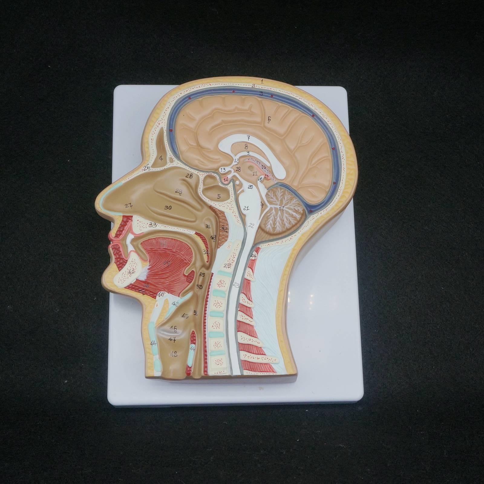 Sección media de la cabeza humano modelo anatómico Médicos esqueleto ...