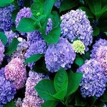 100pc/lot Flower seeds purple Hydrangea evergreen woody flowering long Hydrangea