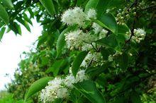 5 белый сандал Семена Бесплатная доставка редко семян растений семена цветов