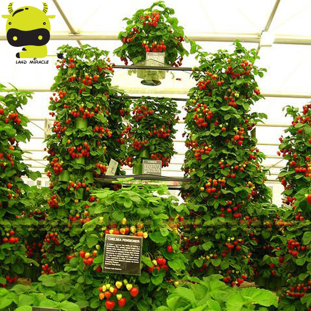 Popular Hanging Strawberry Plants-Buy Cheap Hanging Strawberry ...