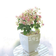 Bougainvillea Plant Seeds 50 pcs 9 colours