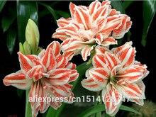 Amaryllis seeds, free shipping cheap Amaryllis seeds, Barbados lily potted seed, Bonsai balcony flower – 200 pcs/bag
