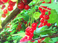 New Arrival 101PCS Currant Fruit Plant Pan-american Gooseberry Seeds Lantern Fruit Seed Sementes For Garden Planting.