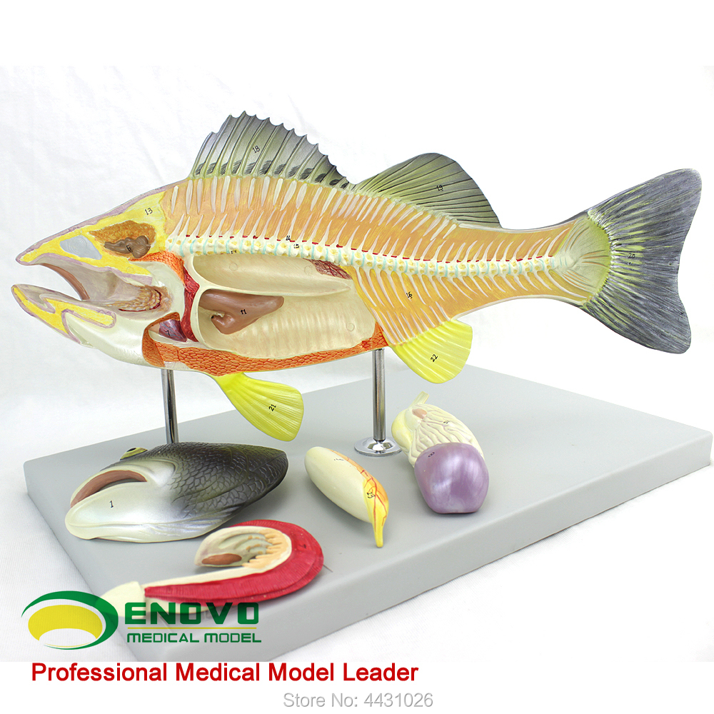 ENOVO Fish anatomy model aquaculture science teaching experimental model biological animal model pig acupuncture model animal acupuncture model