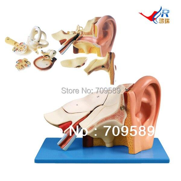 ISO Deluxe Enlarged Ear model, Ear Anatomical Model iso new style giant ear model anatomical ear model