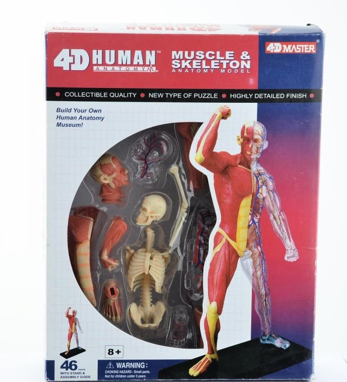 4d Human Body Tissue Model Muscle And Nerve Skeleton Assembly