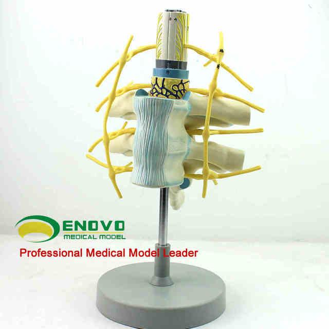 Brust rückenmark spinal nerven sympathischen stamm modell ...