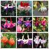 free ship Fuchsia seeds lantern flower indoor balcony bonsai seed flower seeds, 40 seeds